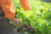 クックケールの収穫