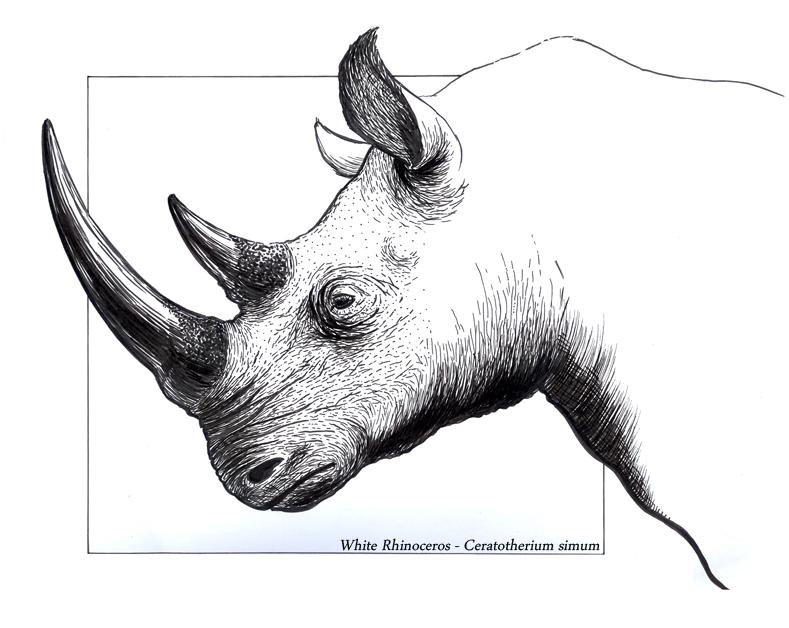 Ceratotherium simum