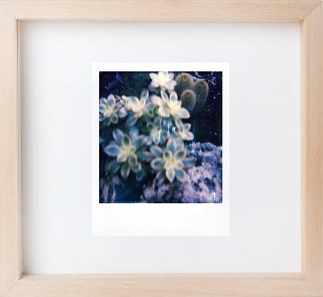 Polaroid 'Echeveria'
