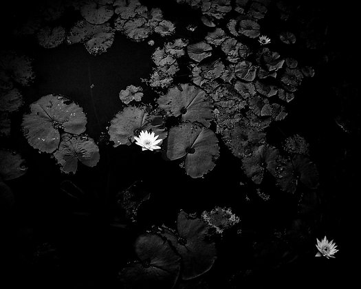 Black water lily, Singapour