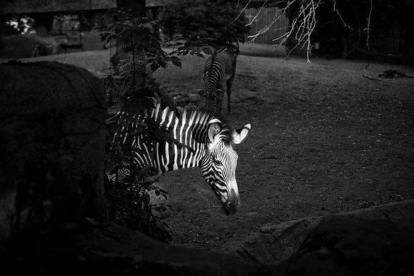 Zebra, Chicago, USA