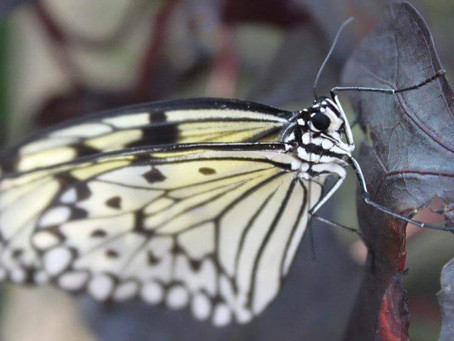 Butterfly, transformation and pain