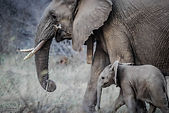 Adult and Baby Elephant