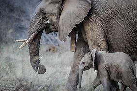 成人和嬰兒大象