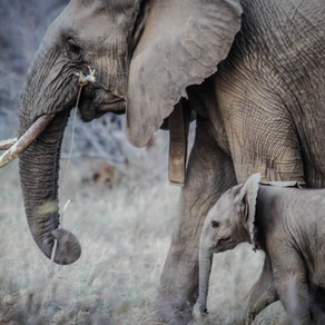 The Elephant in the Room: Does legal mammoth ivory fuel the poaching trade?