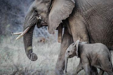 Adulto e do elefante do bebê