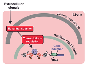 liver transcriptional regulation.tif