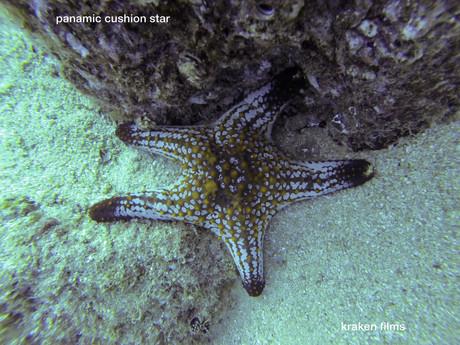 fish id panamic cushion star.jpg