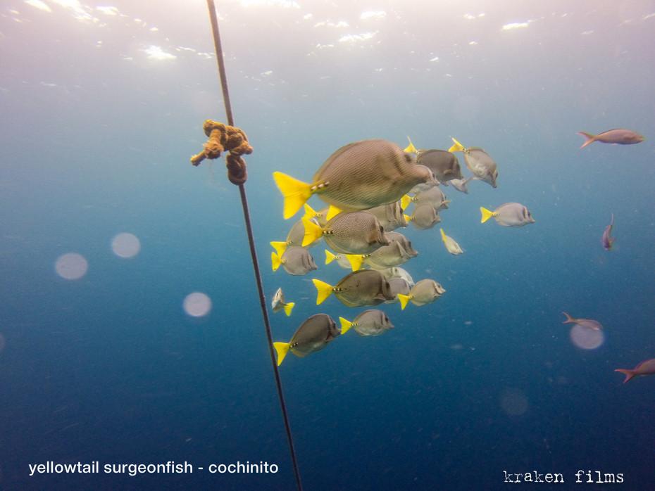 fish id yellowtail surgeonfish.jpg
