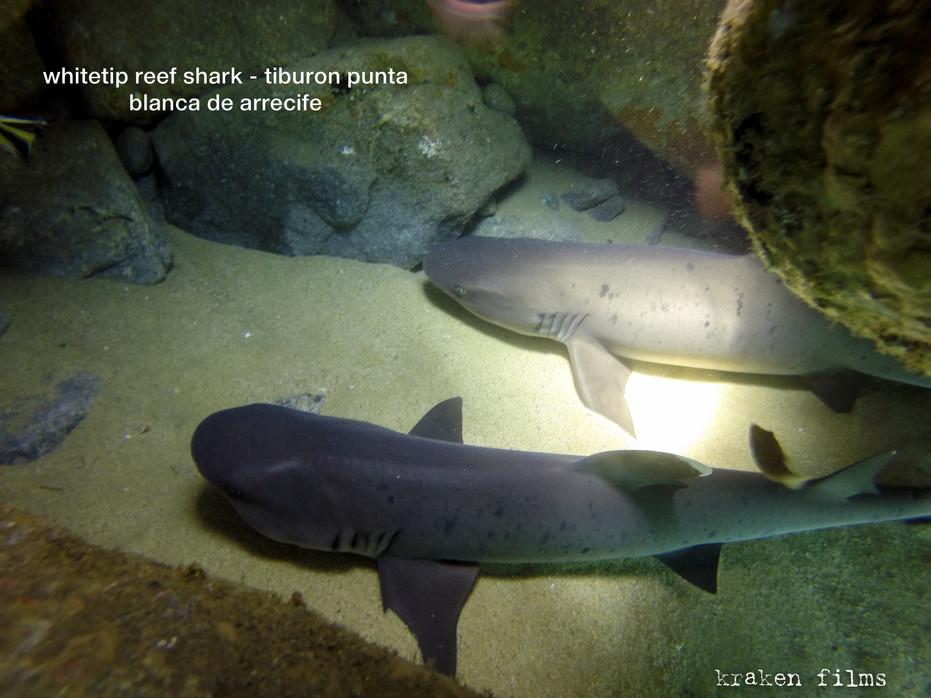 fish id whitetip reef shark.jpg