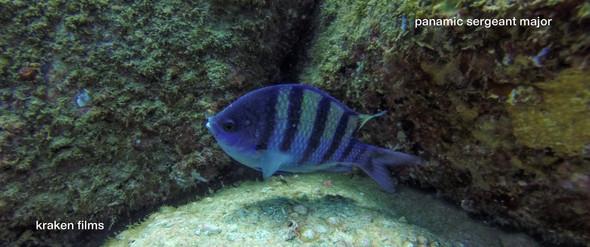 fish id panamic sergeant mahor.jpg