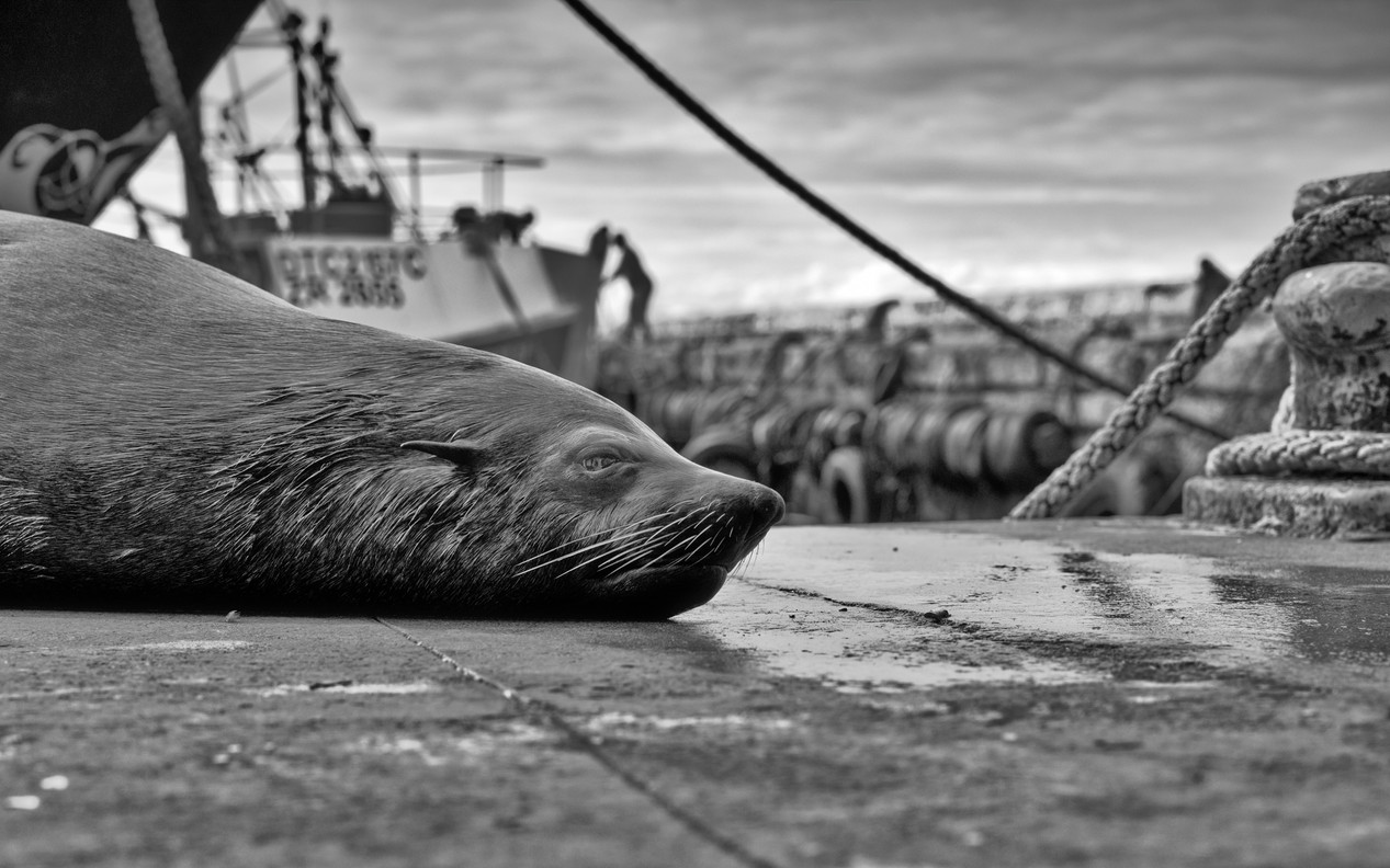 Seal Lounging on the Wharf