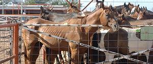horse-slaughter-73209.JPG