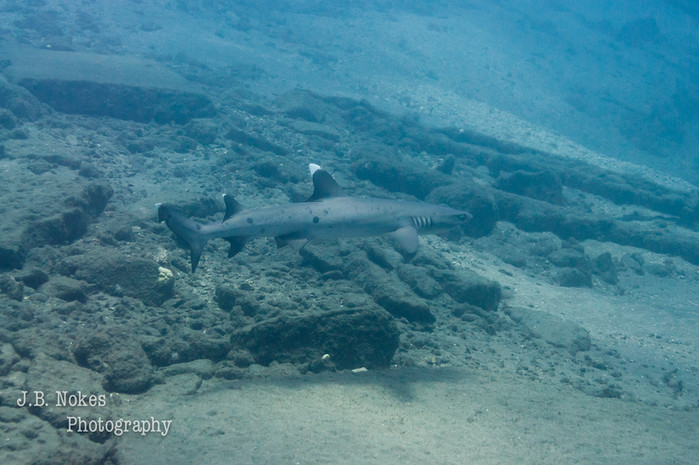 Scuba dive white tip reef shark in Maui