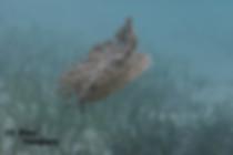 Scuba diving updide down jellyfish in Roatan Honduras