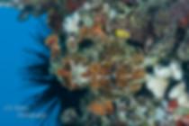 Scuba dive Frog fish in Maui