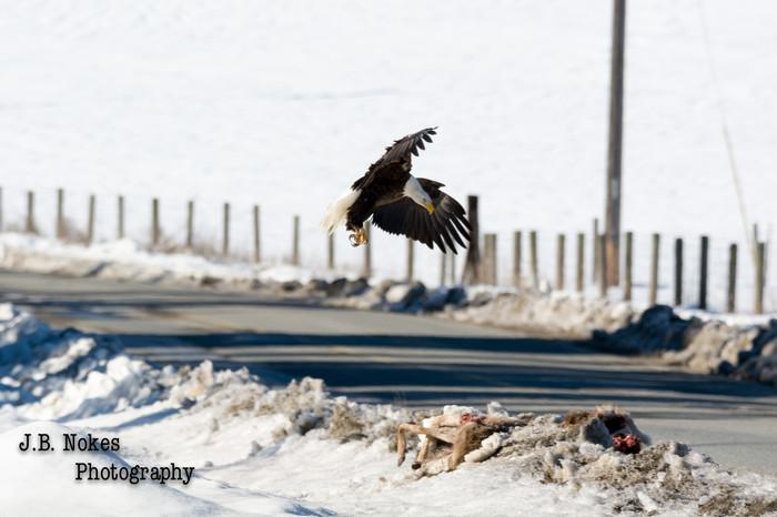 Bald eagel in flight