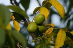 Penderff - Walnuts 24