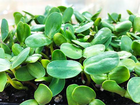 micro-greens-hearn-vale-veggies.jpg