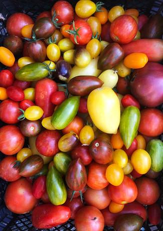 heritage-tomatoes-hern-vale-veggies.jpg