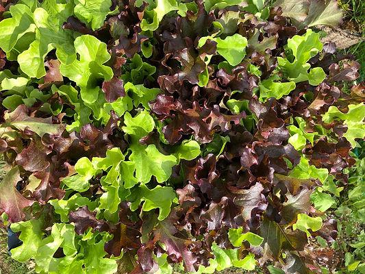 hern-vale-veggies-lettuce.jpg