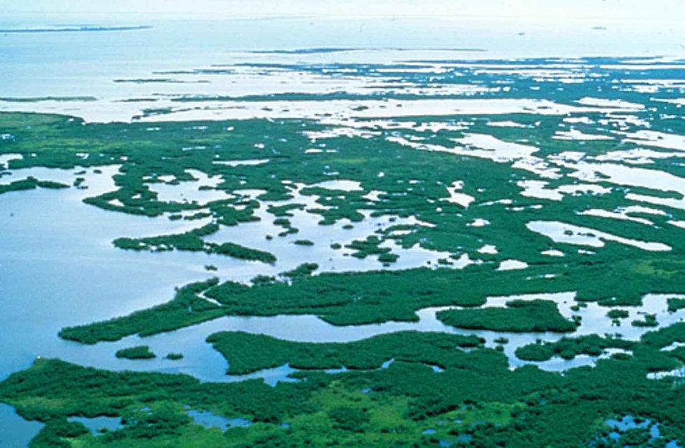 mangrove-plants-swamp-in-florida.jpg