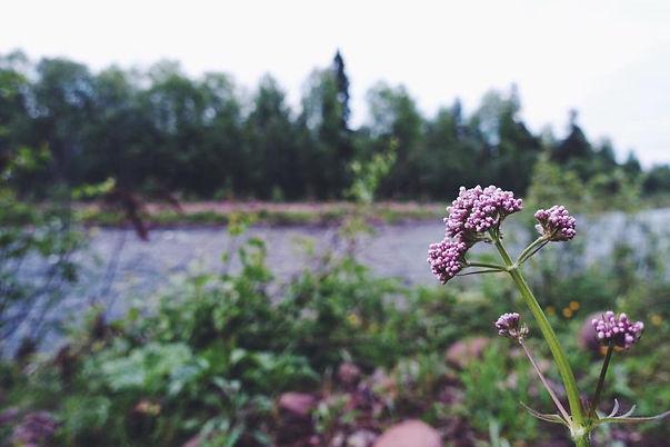 blommaKajsa.jpg