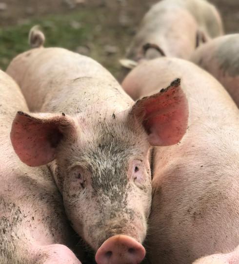 Bonden Landgrens små grisar.