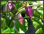 heirloom peppers, hot peppers, chiles,