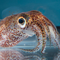 Three new cephalopod genomes have been published