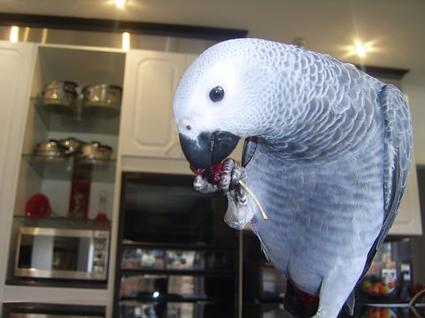 Trez the African Grey