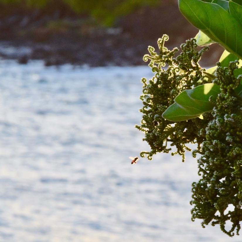 Kauai Honeybee