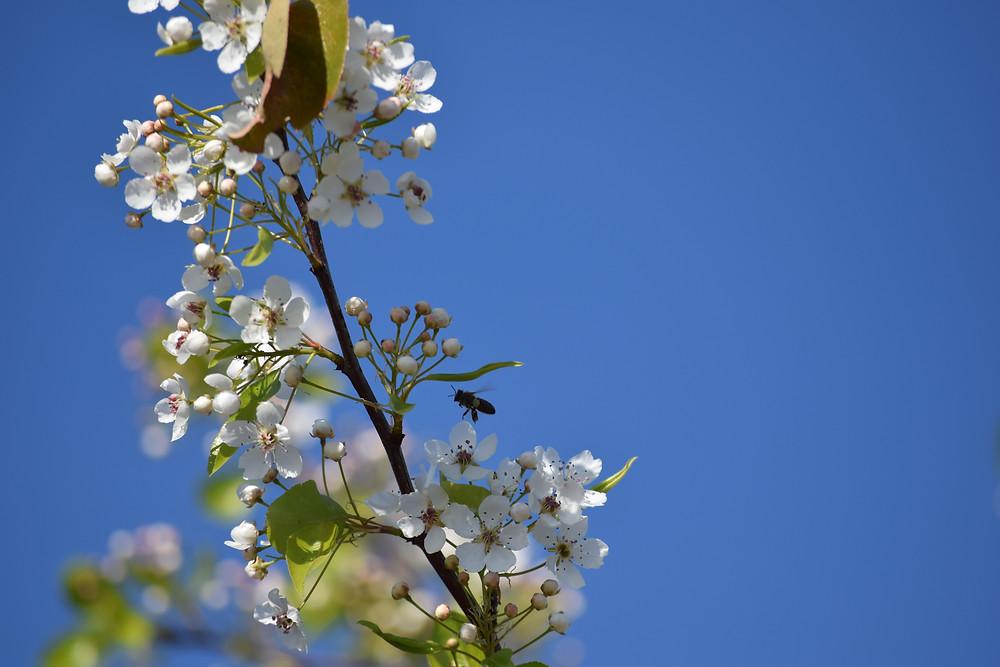 sacramento honeybee