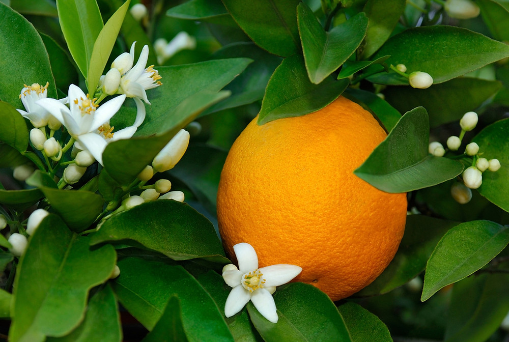 Orange Blossom Nectar