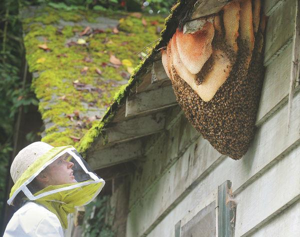 wild beehive, natural beehive