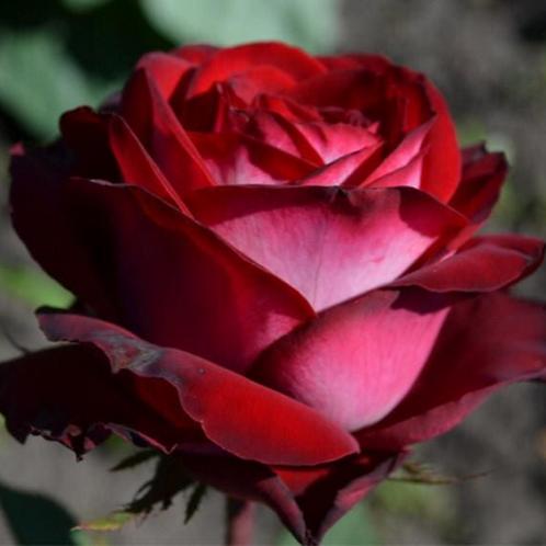 Роза Госпел (Чайно-гибридная)