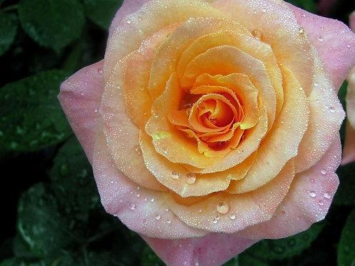 Роза Мега Стар (Флорибунда) 3л