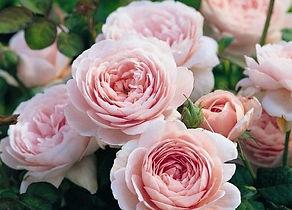 роза грандифлора
