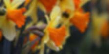 клубни глоксинии