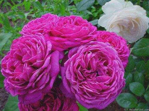 Роза Сиреневый Дождь (Шраб)