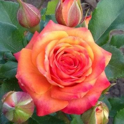 Роза Келли (Спрей) 3л