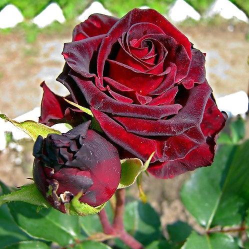 Роза Фиджа Негро (Чайно-гибридная)
