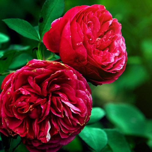 Роза Валькирия (Чайно-гибридная) 3л