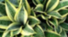 комнатные декоративнолиственные растения