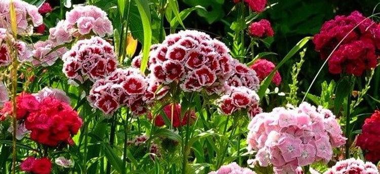 семена гвоздики