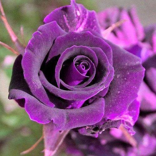 Роза Юникорн (Чайно-гибридная)