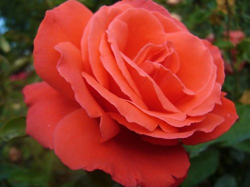 Роза Рабона (Чайно-гибридная) 3л