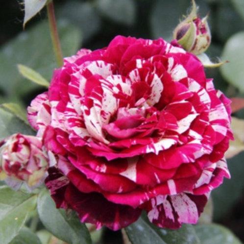 Роза Иглесиас (Спрей) 3л