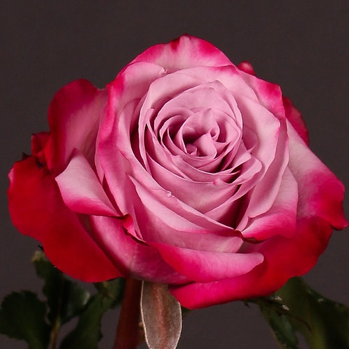 Роза Дип Перпл (Чайно-гибридная) 3л