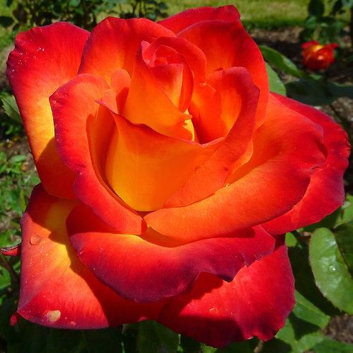 Роза Министрель (Чайно-гибридная)